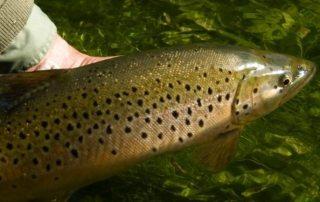 Fliegenfischen an den chalk streams von England, neue Destination!